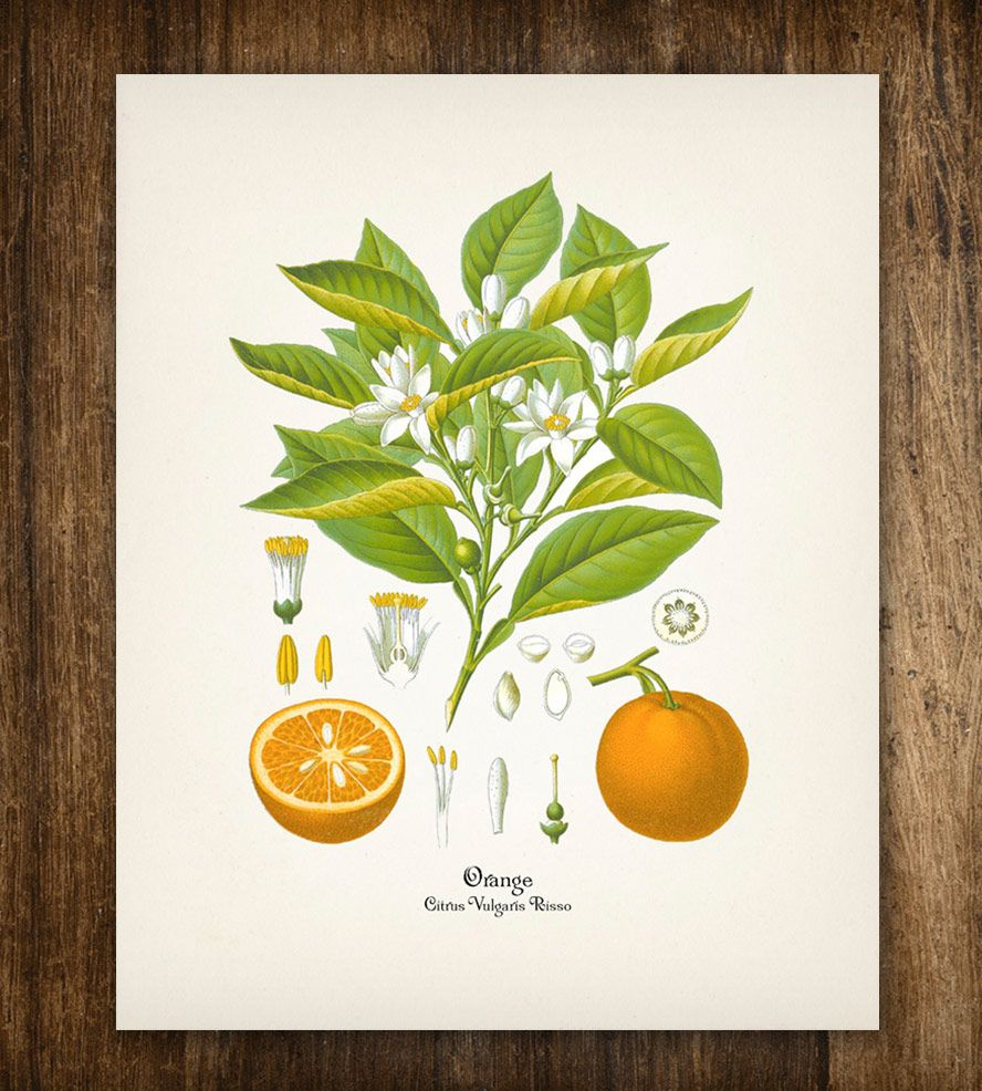 Artwork Orange Tree Branch Vintage Botanical
