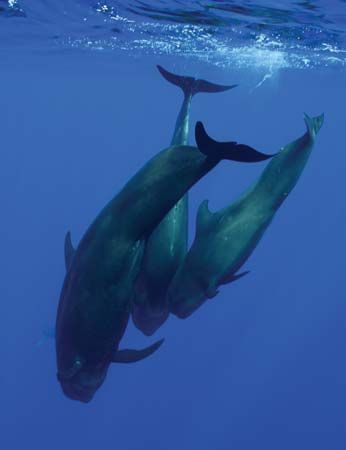 Short-finned pilot whales (Globicephala macrorhynchus)—David B Fleetham—Photolibrary/Getty Images