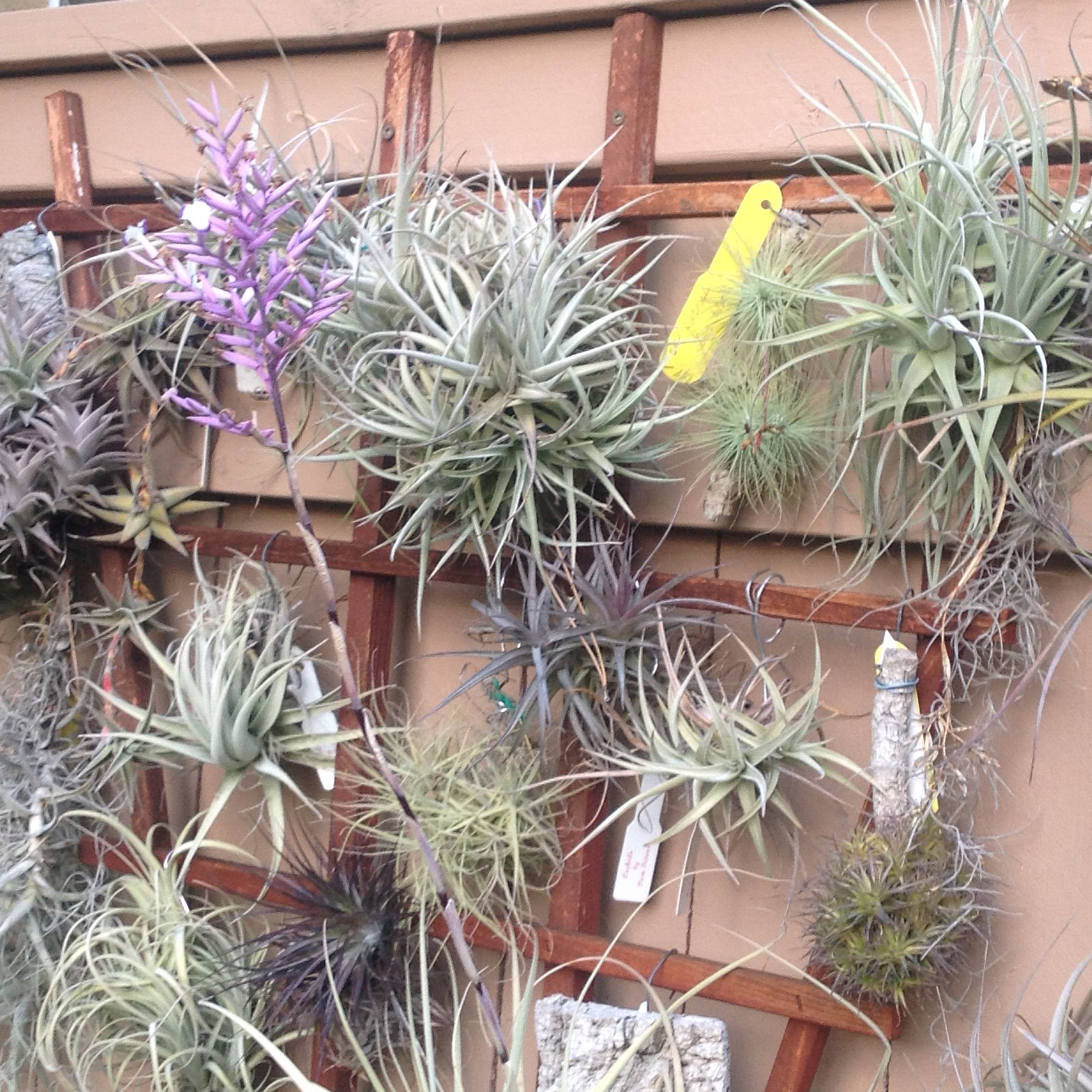 Tillandsia Straminea Air Plant Displayair