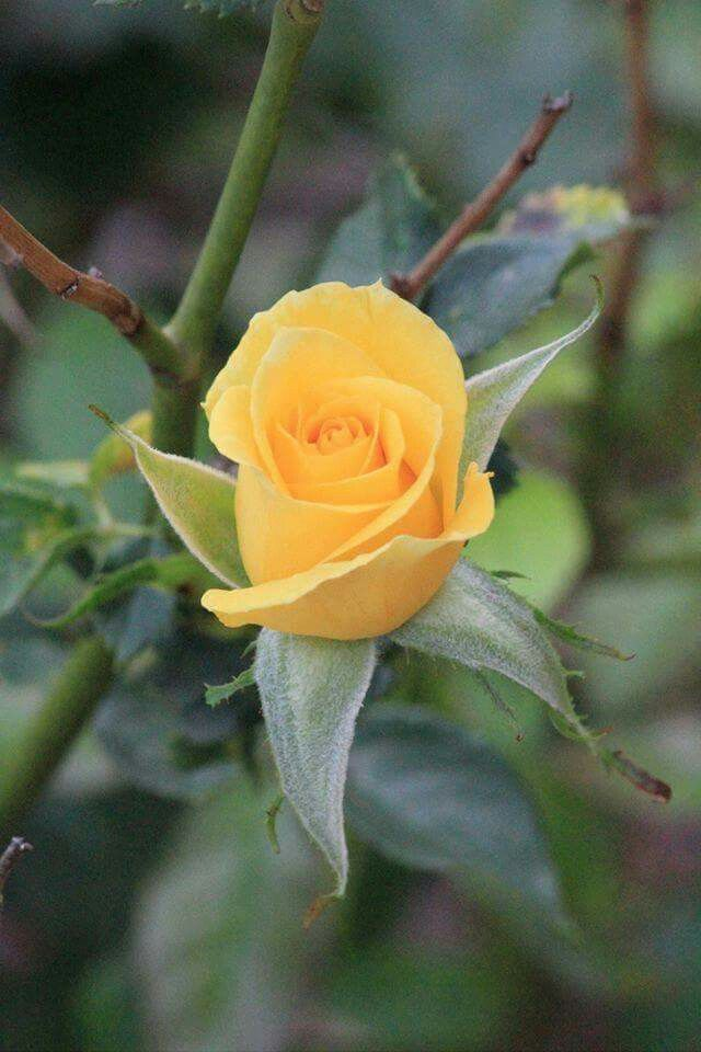 The yellow rose of texas perfect shade of yellow very pretty the yellow rose of texas perfect shade of yellow very pretty mightylinksfo