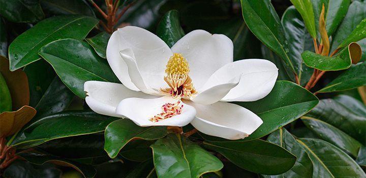Cuidados de las magnolias decorando con plantas interior for Vivero las magnolias