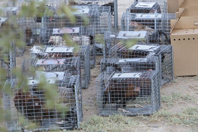Officer's phone call leads to largest animal fighting ring bust in state history  #Animal #animalfights #bust #Call #fighting #History #largest #leads #officers #Phone #ring #State