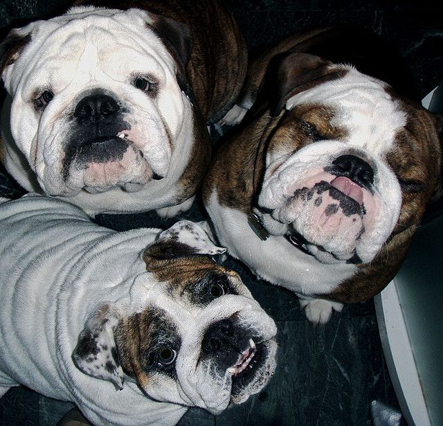 Gertie And The Boys Bulldog Puppies Bully Dog Cute Bulldogs