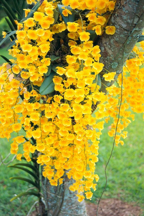 Flowersgardenlove orqudeas amarillas hawa hermosas hermosas hawaii kauai lawai v mable mae kamahele yellow orchids draping down from tree poster print x mightylinksfo