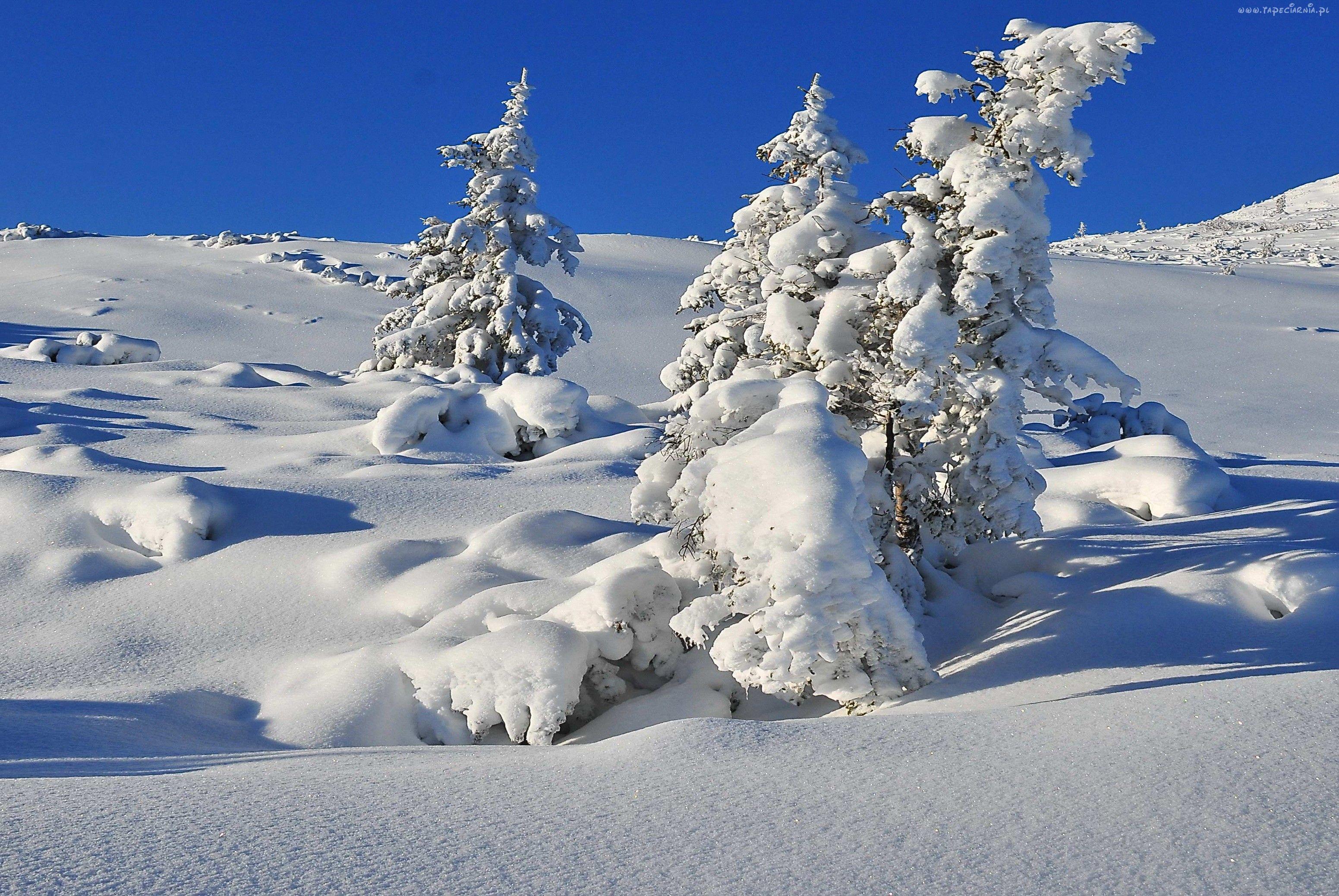 Zima, Śnieg, Świerki