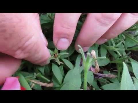How To Collect Petunia Seeds Youtube Petunias Petunia Flower Wave Petunias