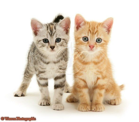 Tabby Cat Grooming Basics Serious Cat Tabby Cat Cat Photography
