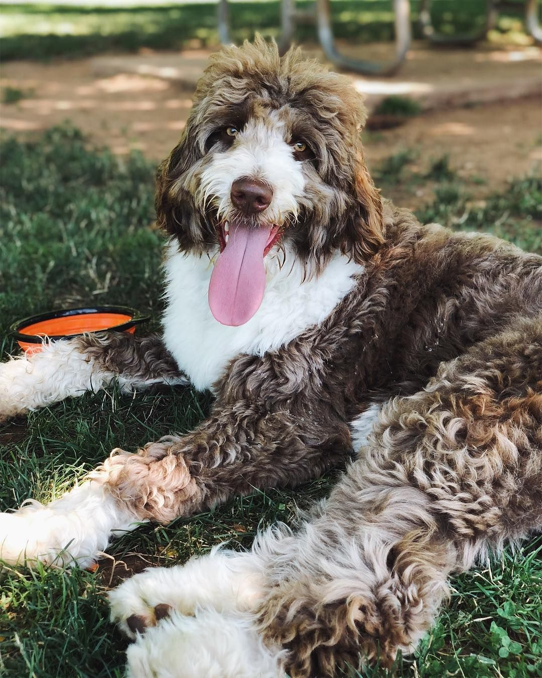Aussiedoodles Super Smart Hybrid Can Almost Read Your Mind Aussiedoodles Aussiedoodlepuppies Cutepuppies Dogs Dogbeast Aussiedoodle Doodle Dog Breeds Mini Puppies