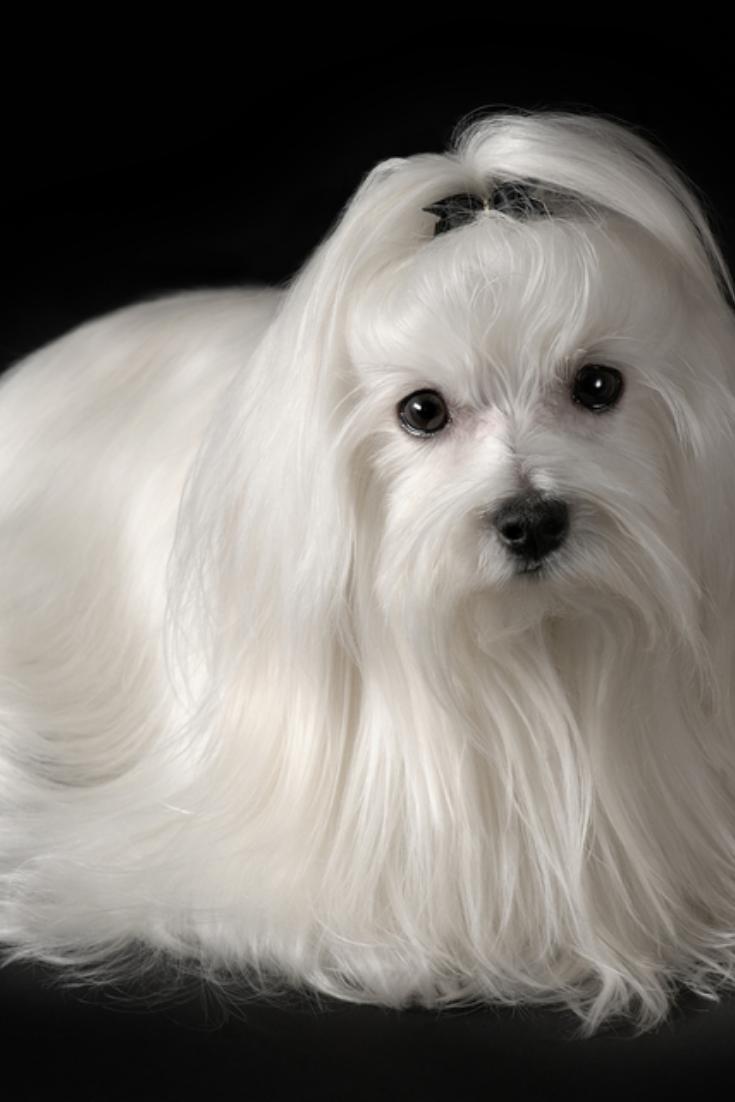 Portrait Of Maltese Dog Isolated On Black Maltese Dogs Portrait