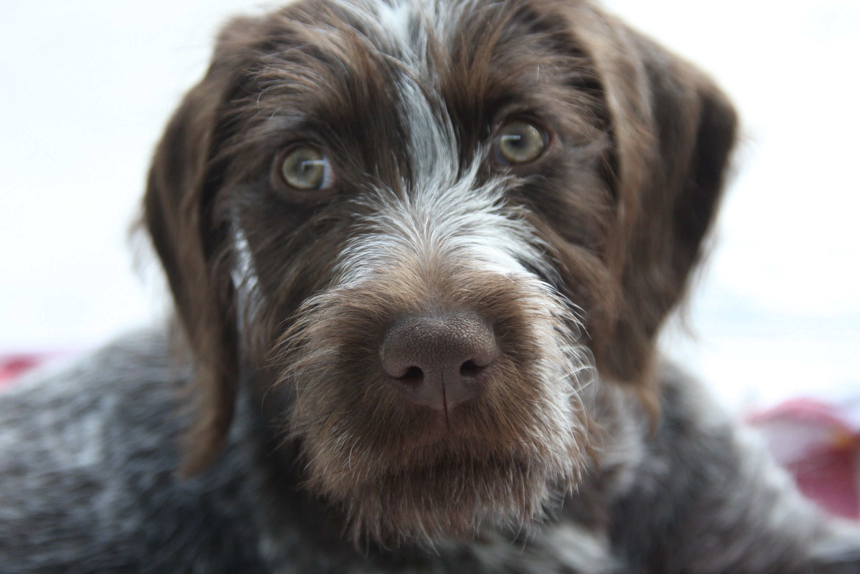 German drahthaar pup | Animals | Pinterest | Pup, German and German ...