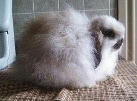 Hertzog's Backyard Rabbitry - American Fuzzy Lops ...