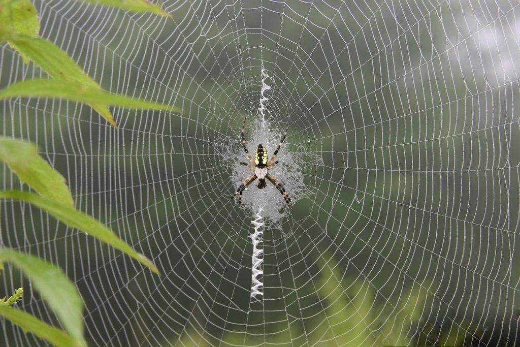 the writing spider argiope aurantia