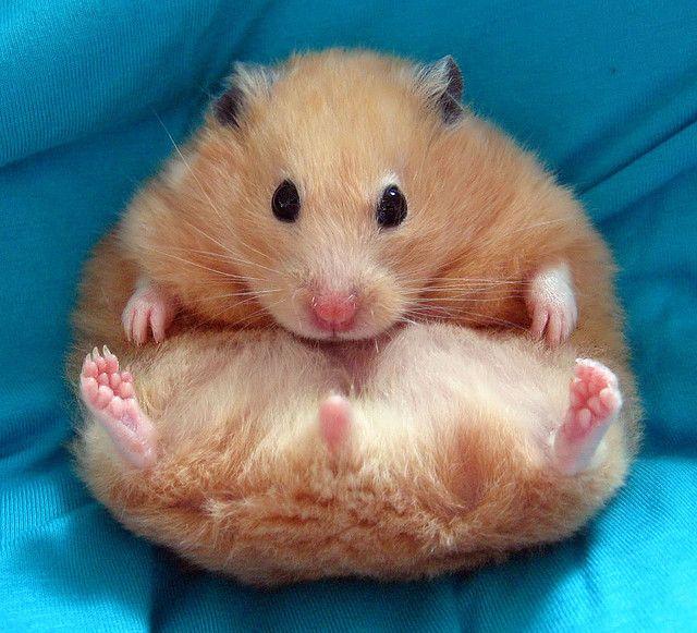 Kleiner Susser Hamster In Rosa Decke Hamster Haustiere Susse