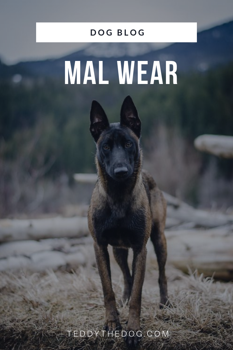 The Only Good Mal Wear Malinois Fans Malinois Dog Belgian