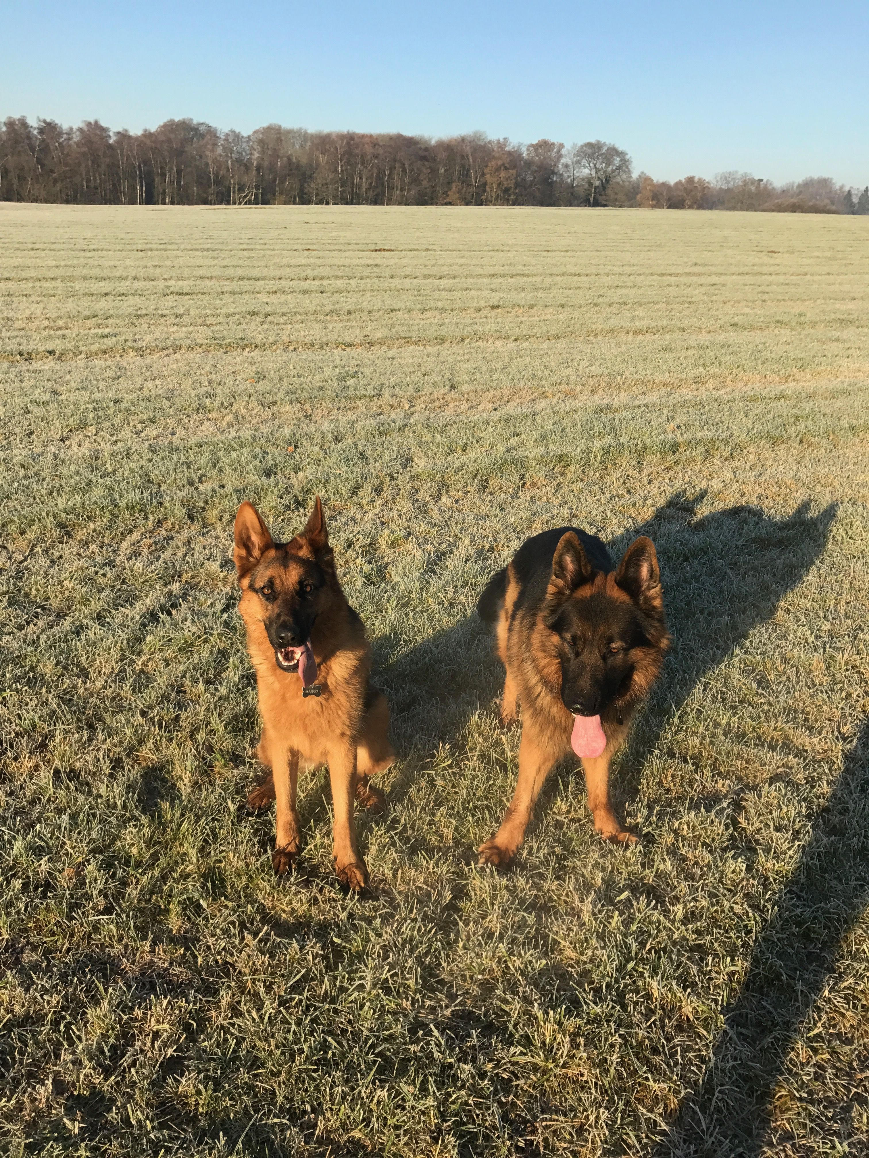 Our Lovely Gsd Pups German Shepherds Dogs Love Family