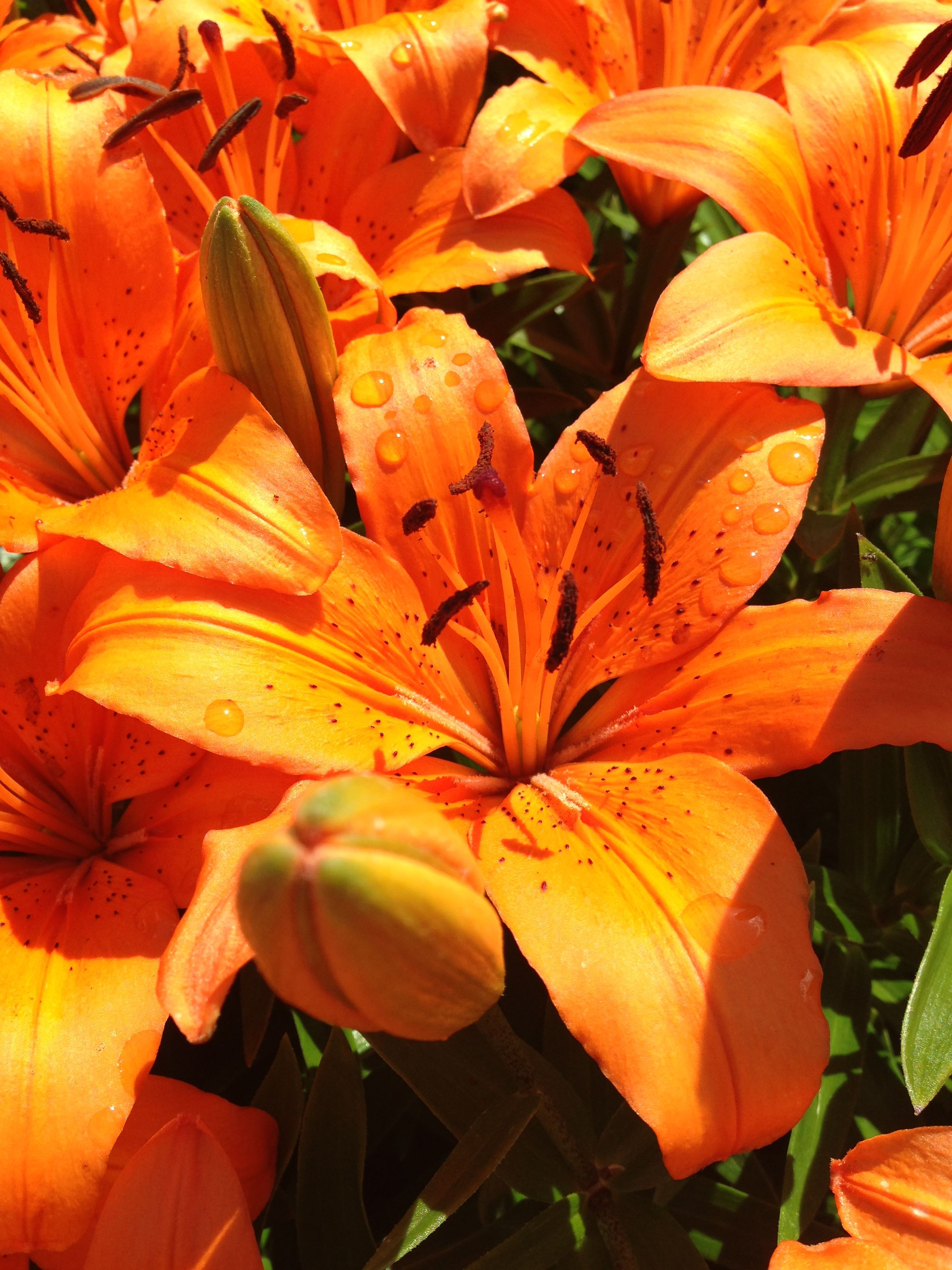 Flowers With Dew Drops Love The Orange Lily Flowers Plants