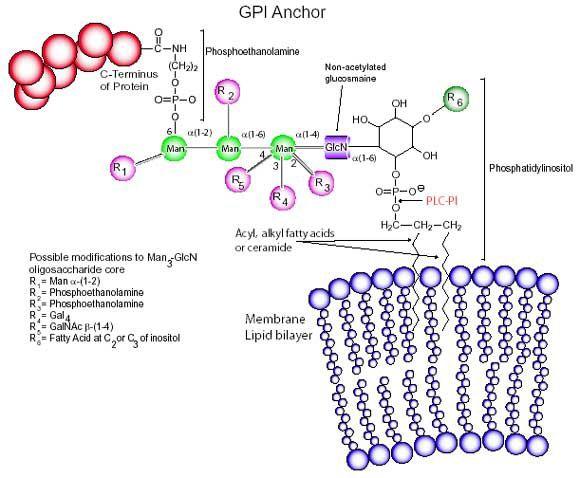 Gpi Anchor Structure | Sigma-Aldrich