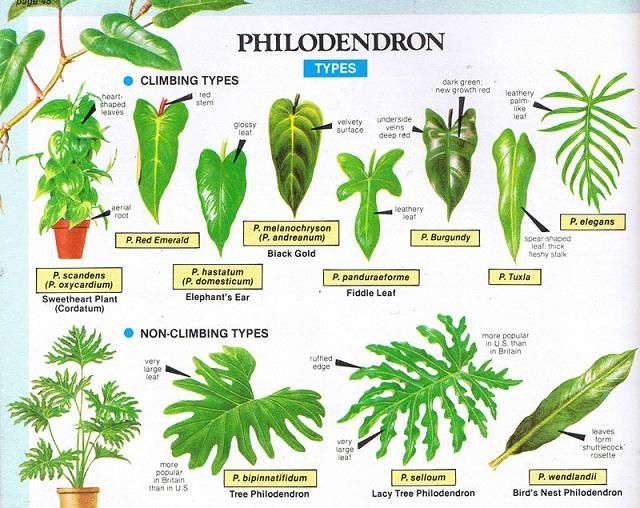 Philodendron types indoor green pinterest plants indoor plants and house plants for A gardener is planting two types of trees