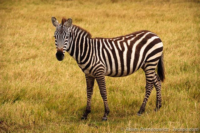 Zebras In Africa | www.pixshark.com - Images Galleries ...