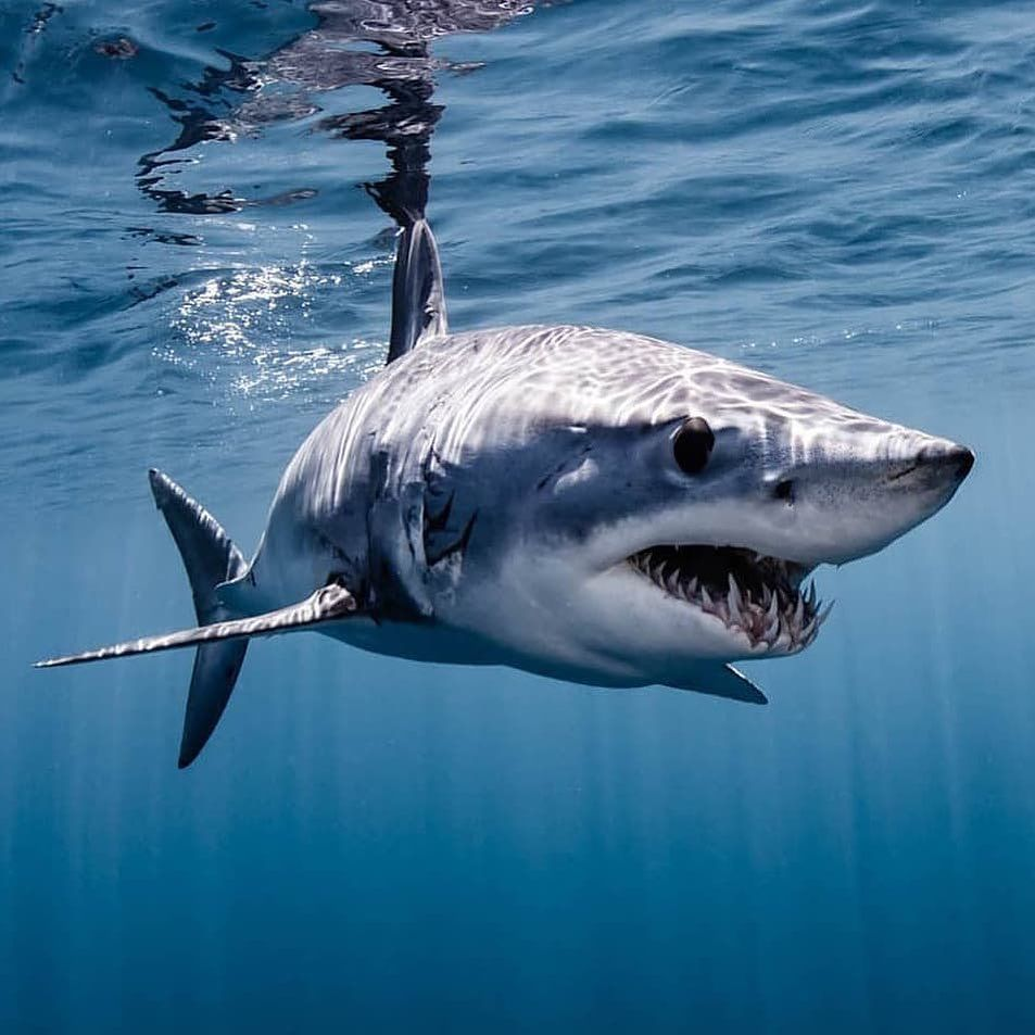 "Shark Of The Week on Instagram: ""On first glance, the mako shark ..."