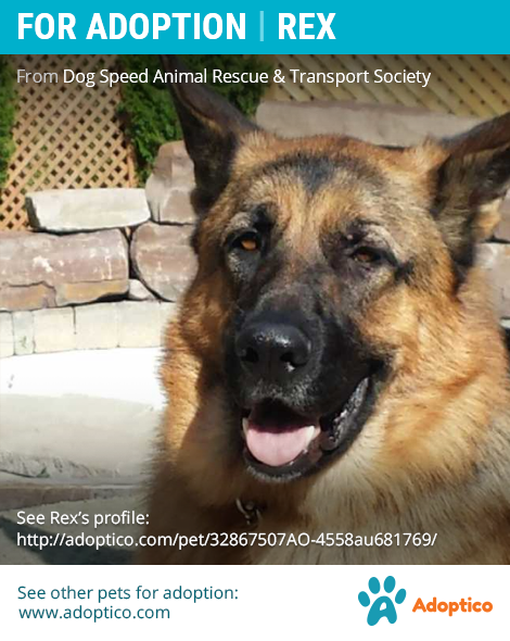 Adorable Pet Rex On German Shepherd Breeds Dog Adoption Pet Adoption