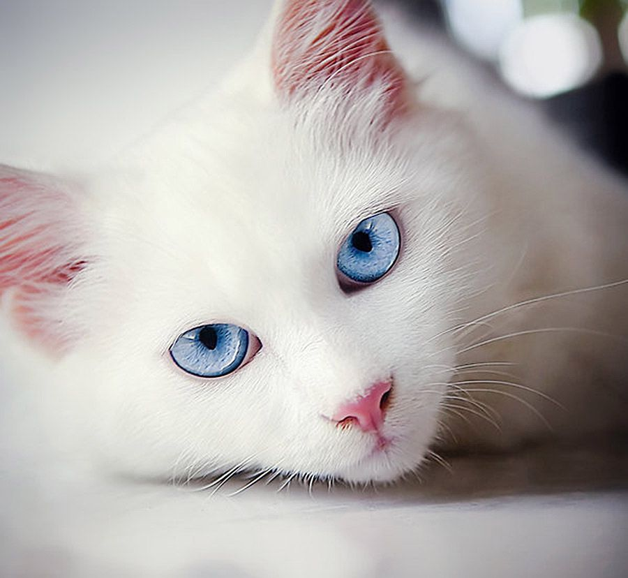 Ice Blue Eyes Gorgeous Pretty Cats White Cats Beautiful Cats