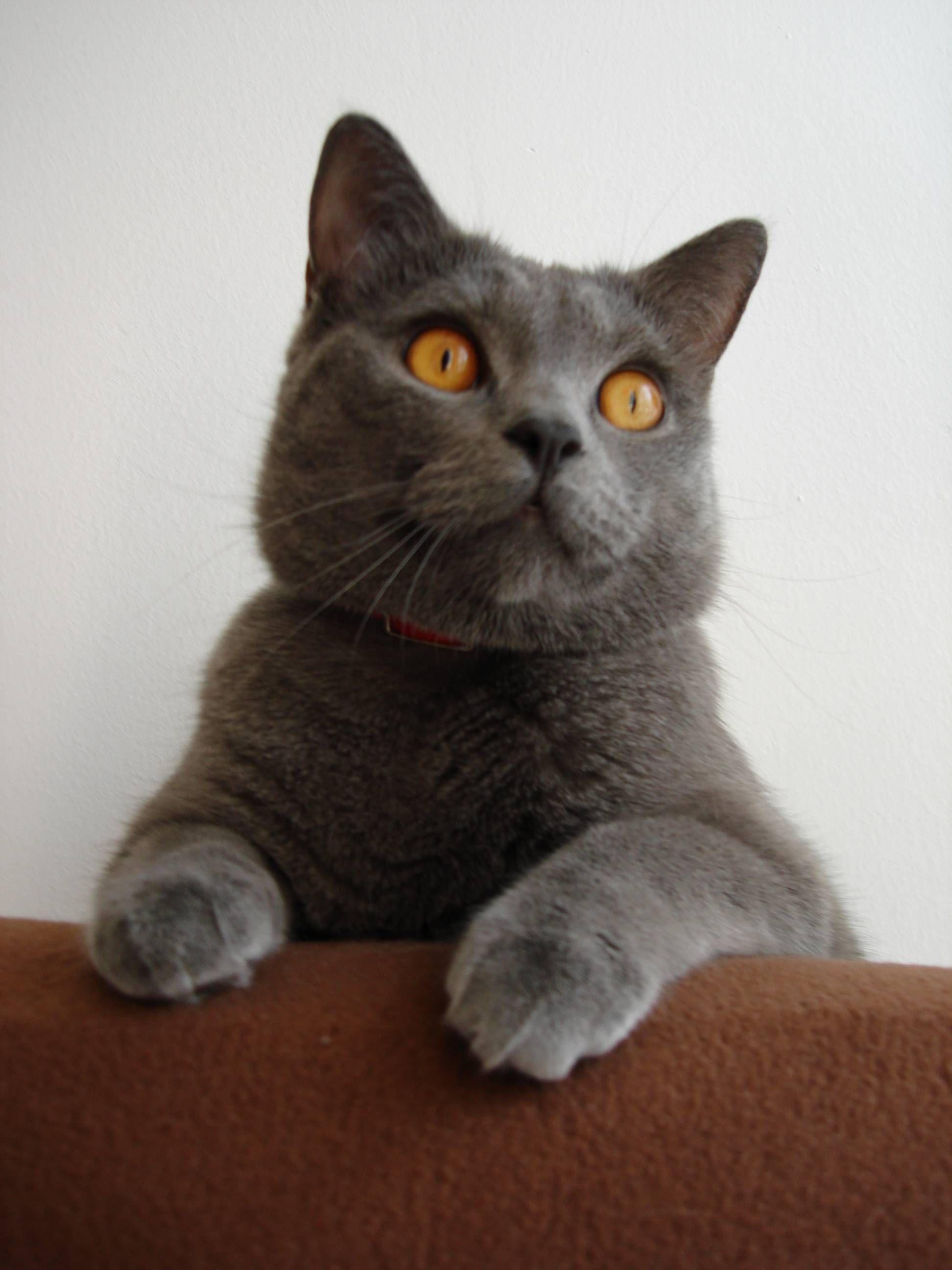 Chartreux Cats Pinterest
