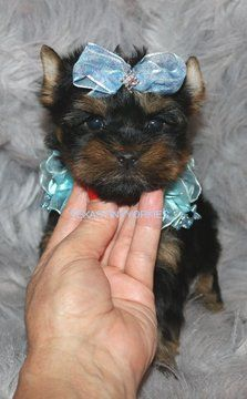 Yorkshire Terrier Puppy For Sale In Abilene Tx Adn 52504 On