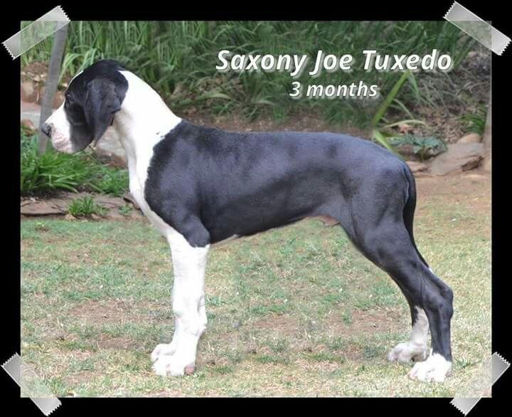 Saxony Joe Tuxedo Mantle Great Dane Great Dane Dogs
