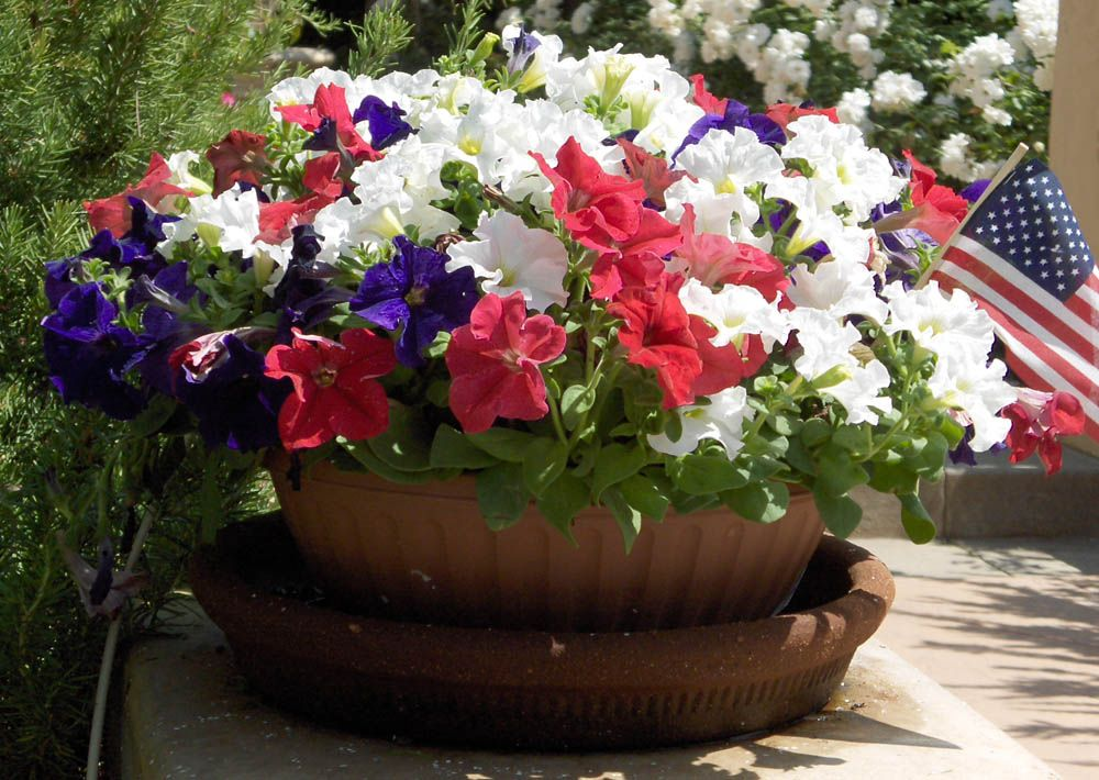 red+white+and+blue+garden+images | red white and blue petunias ...