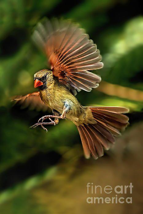 A Cardinal Approaches | Birds in flight, Backyard birds ...