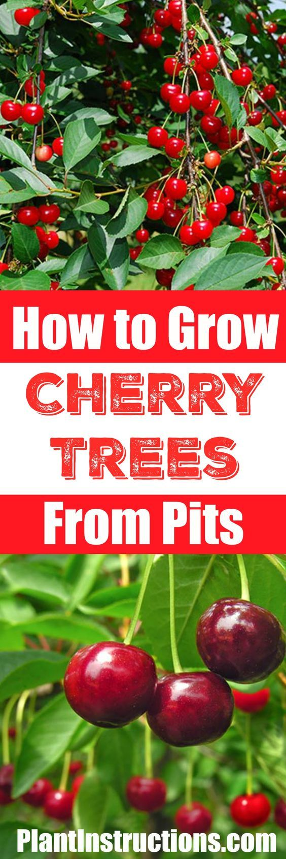 How To Grow A Cherry Tree From Seeds Growing Cherry Trees Cherry Tree From Seed Growing Fruit Trees