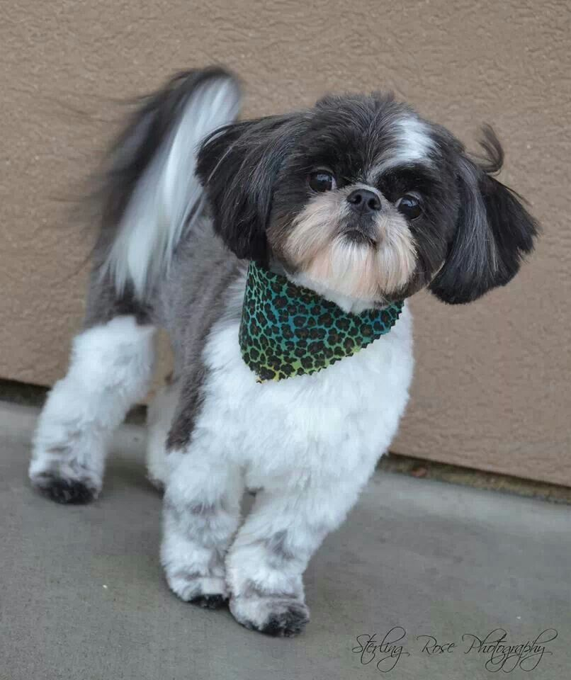 How Much Are Shih Tzu Puppies Worth Ideas
