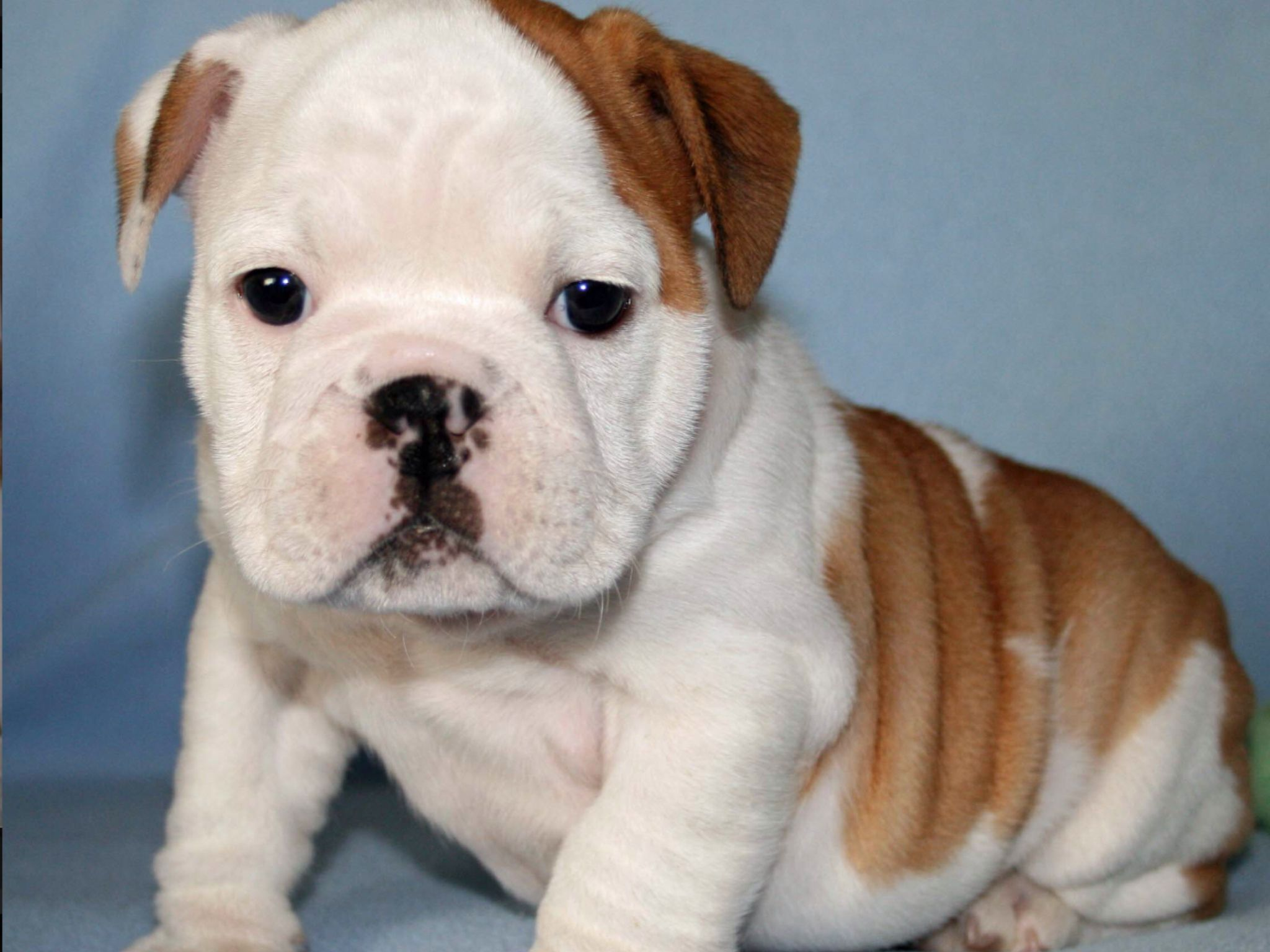 Super Duper Cute Puppy English Bulldog Puppies Bulldog Puppies