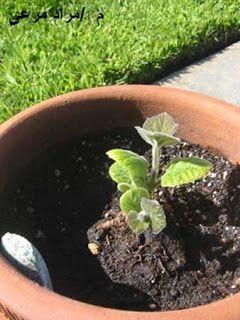 تجربة عملية بمعدل نمو و إرتفاع شجرة بولونيا فى 6 شهور Fast Growing Flowers Growing Flowers Shade Trees