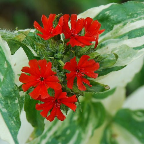 Image result for lychnis Flower seeds, Plants, Seeds