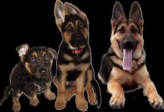 Core Areas of German Shepherd Psychology Dog training