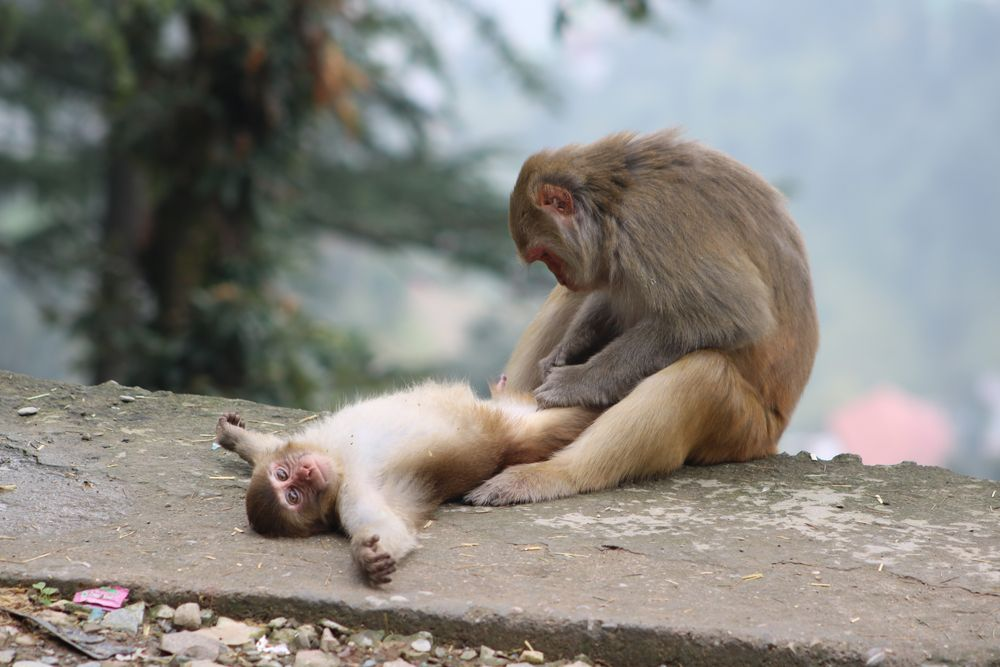 Rhesus macaques daily grooming. Baby animals, Funny