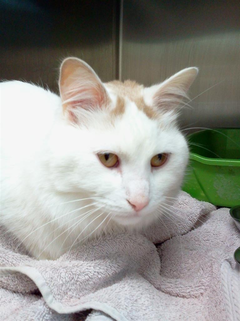Found Cat Domestic Medium Hair Markham On Canada L6c 0b4 On