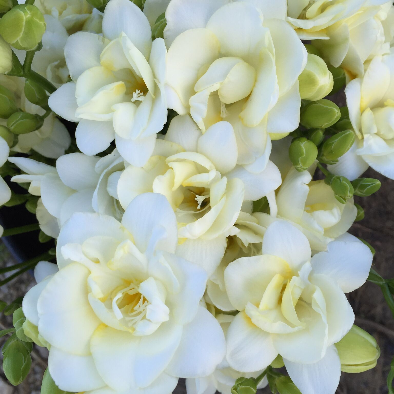 Freesia White, Yellow double, Pink, purple All flowers