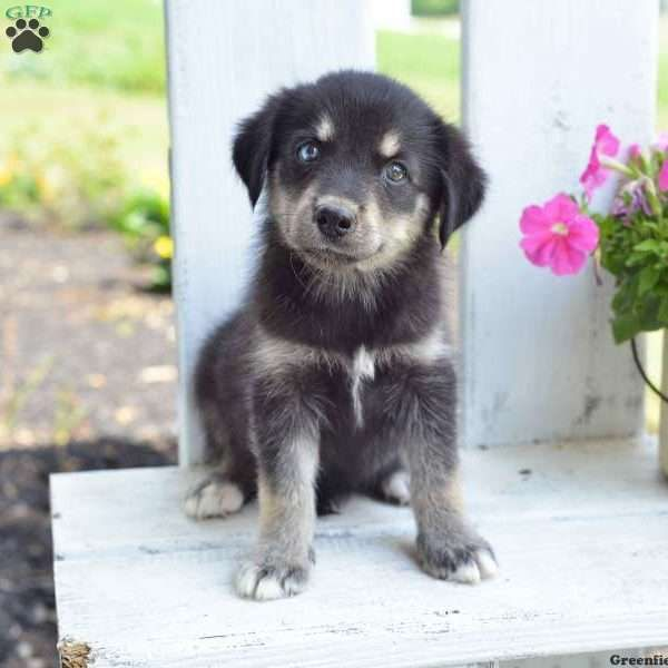 Trixy Goberian Puppy For Sale In Ohio Puppies Doggy Puppies For Sale