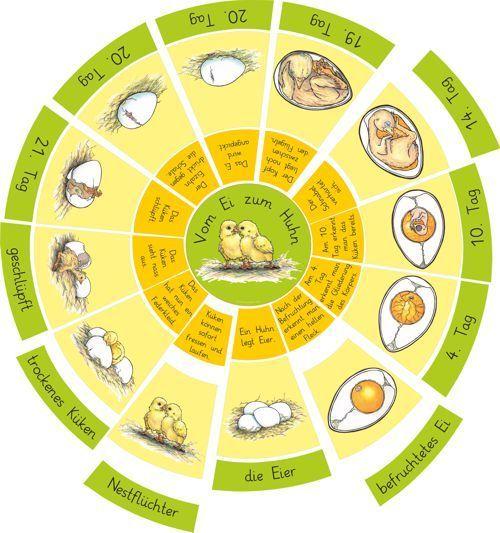 Legekreis vom Ei zum Huhn/Küken (Zaubereinmaleins - DesignBlog) #bastelprojektefürdenfrühling