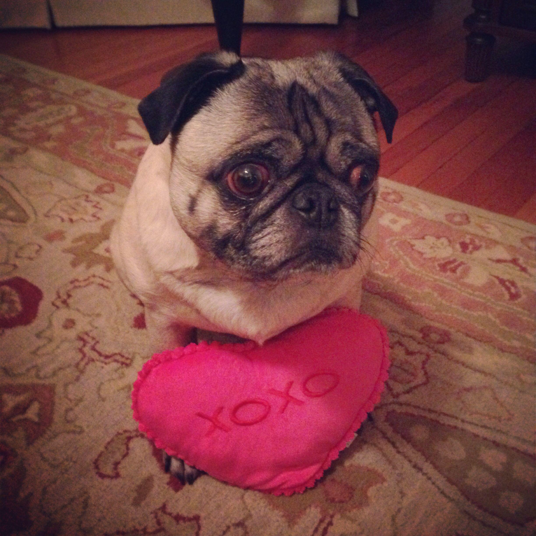 Sugar The Pug Her Love Is Like Xoxo Pugs Animals Dogs