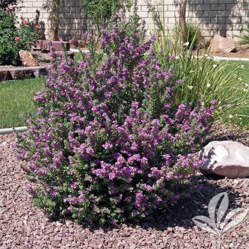 Leucophyllum Frutescens Compacta Texas Sage Compacta Zone 9