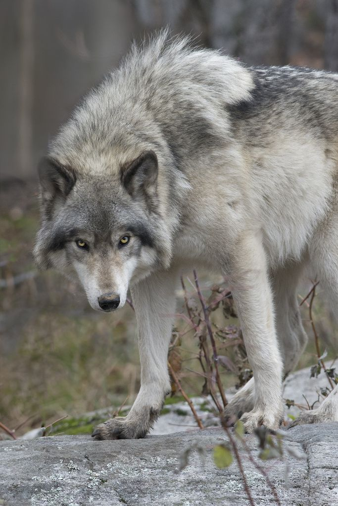 Canadian Timber Wolf - by: [Rudy in Ottawa]