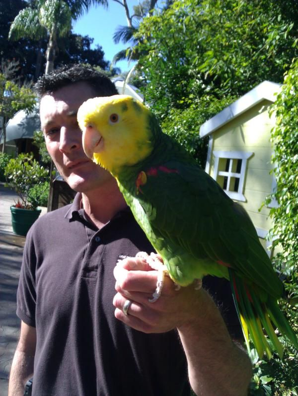 Rio - The famous Double Yellow-Headed Amazon Parrot at the San Diego Zoo.