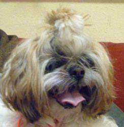 I Want Tiki Is An Adoptable Shih Tzu Dog In Seattle Wa