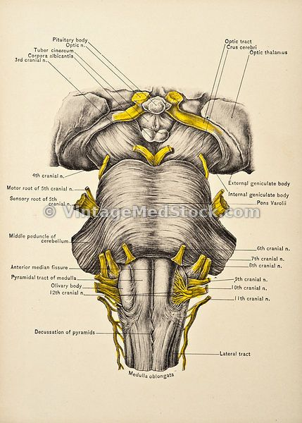 brainstem | The nervous system (Neurology) | Pinterest | Medizin