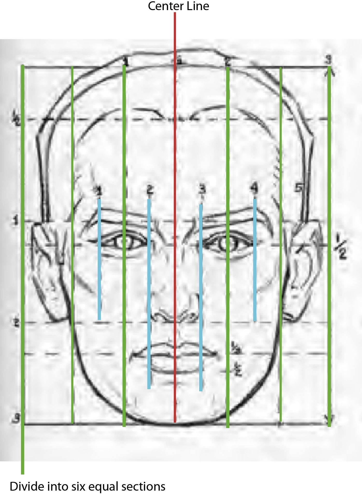 MaleHead-VerticalLines-1 | Facial proportions, Face ...