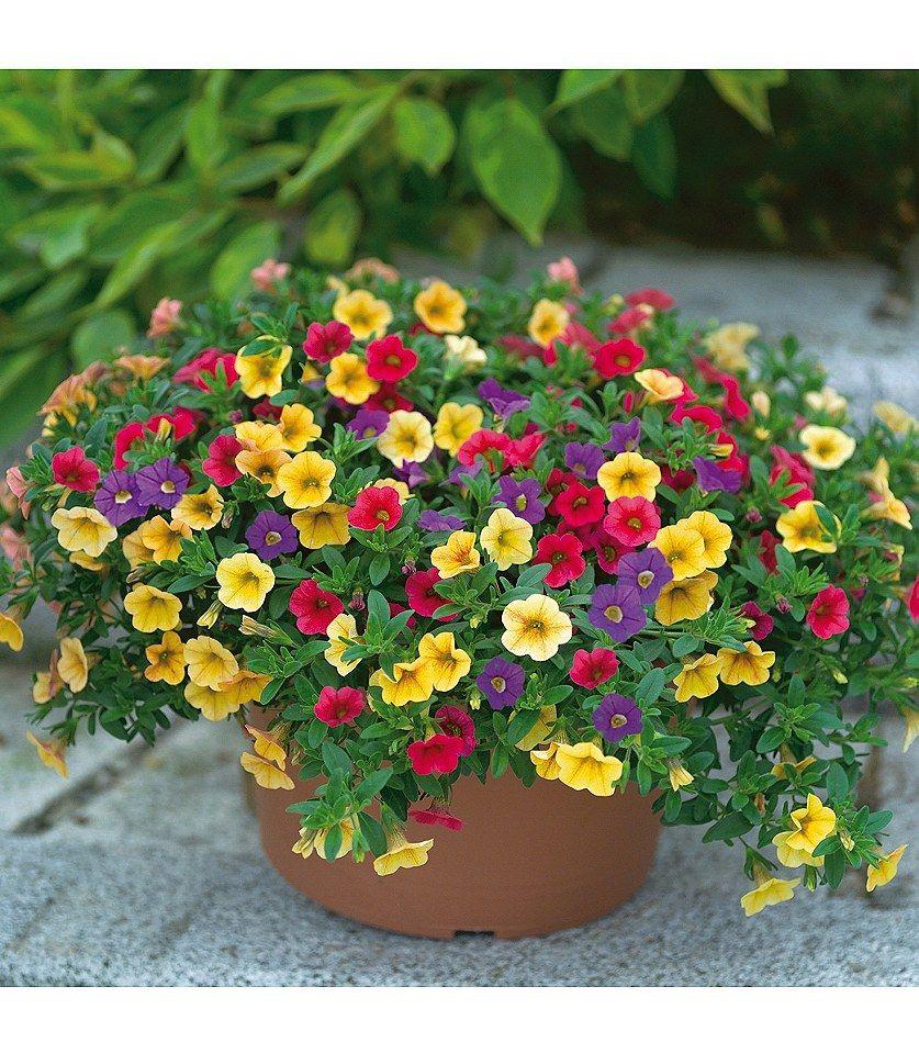 Joker Petunien Pflanzen Balkon Blumen Einjahrige Pflanzen